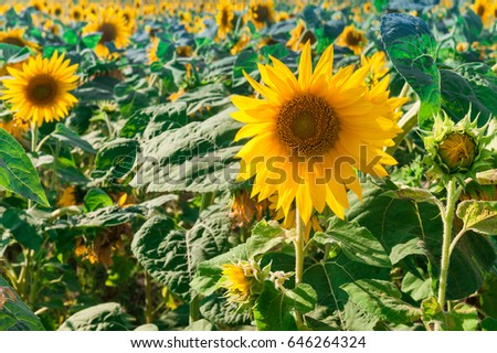 Sunflower field #646264324
