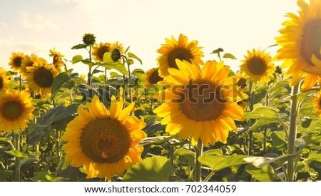sunflower field #702344059