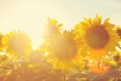Sunflower field at sunset. Filtered Instagram effect.