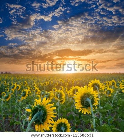 sunflower field at the morning
