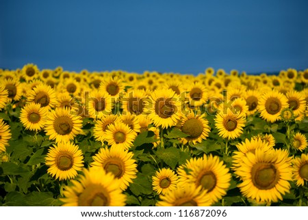 Sunflower field bathing in sunlight with copy space