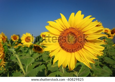 Sunflower field can be used for good background