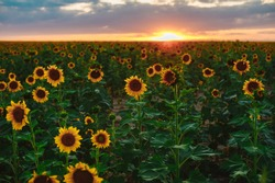 Sunflower field during the sunset with the mountains on the horizon. Yellow flower background. August in Colorado.