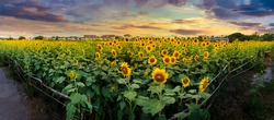 Sunflower field, evening Vast field yellow flower