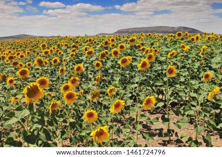 Sunflower field (Helianthus annuus), Costa de la Luz, Cadiz Province, Andalusia, Spain. Zdjęcia stock ©