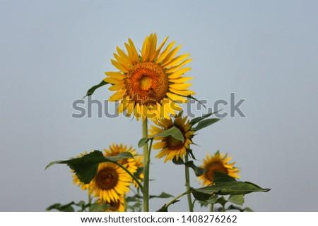 Sunflower field in Bagerhat, Bangladesh. #1408276262