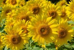 Sunflower field in early summer