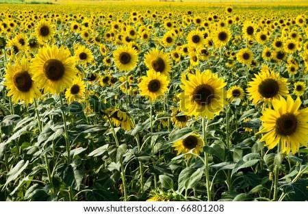Sunflower field in evening light