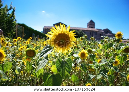 Sunflower field in Monastery, St. Remy, Provence, France where Vincent VanGogh lived - stock photo