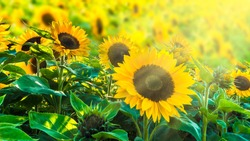 sunflower field in sunshine, bright vibrant flower landscape in summer time, beautiful sun flower blossoms closeup, many yellow plants with lush leaves