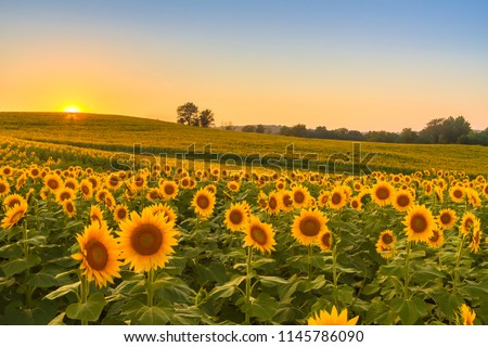 Sunflower field in the Midwest at sunset.