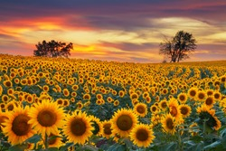 Sunflower field in the Midwest in full bloom at sunset.