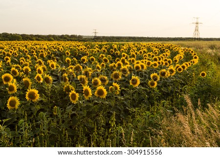 Sunflower field is blooming at sunset, wide angle #304915556