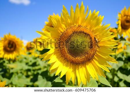 Sunflower field landscape - Shutterstock ID 609475706