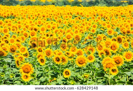 Stock Photo Sunflower field landscape