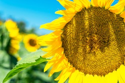 Sunflower field landscape, Sunflower seeds, bright yellow petals, green leaves. Beautiful sunflowers on background of blue sky. Summer bright background, agriculture, harvest concept, vegetable oil