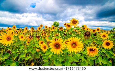 Sunflower field nature scene. Sunflowers. Sunflower field landscape. Sunflower field view