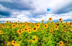 Sunflower field nature scene view. Sunflowers field view