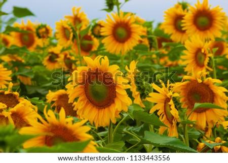 Sunflower field of Hokuruu town, Hokkaido #1133443556