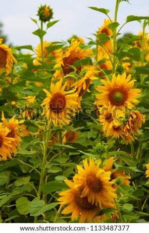 Sunflower field of Hokuruu town, Hokkaido #1133487377