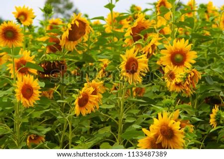 Sunflower field of Hokuruu town, Hokkaido #1133487389