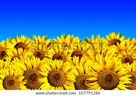 Sunflower field on a blue background