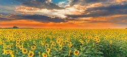 Sunflower field on sunset. Beautiful nature landscape panorama. Farm field idyllic scene.