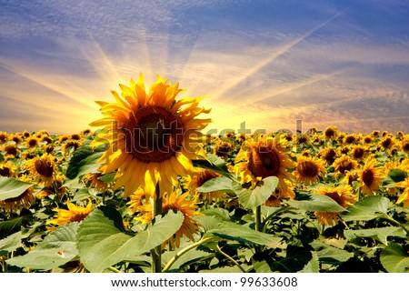 sunflower field on sunset sky background