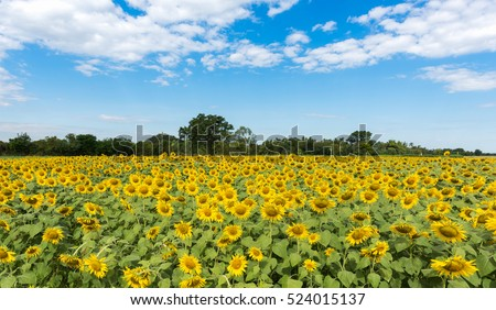 Stock Photo sunflower field on white cloudy and blue sky