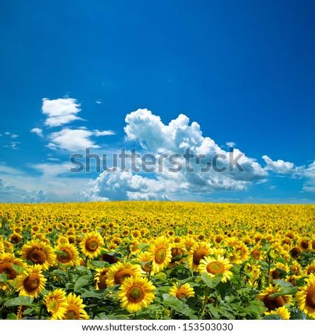 Shutterstock sunflower field over cloudy blue sky