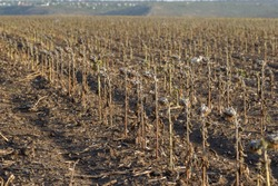 Sunflower field. Poor sunflower harvest due to lack of rain. Climate change, global warming and drought have resulted in sunflower crop failure. Dried plant stems in a farm field