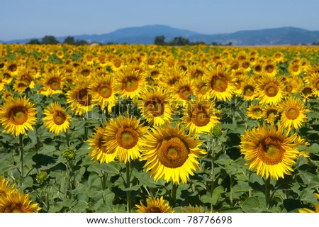 Sunflower field, Provence France