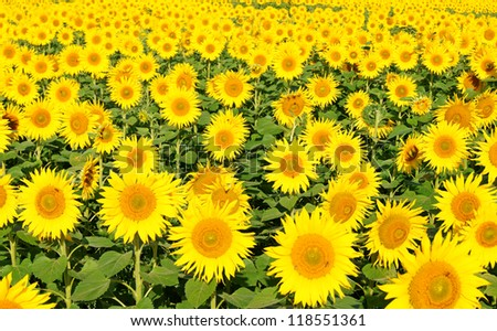 sunflower field / sunflower - stock photo