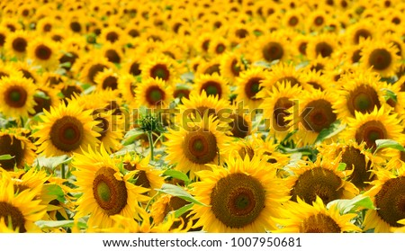 Sunflower field Sunflower natural background. Sunflower blooming #1007950681