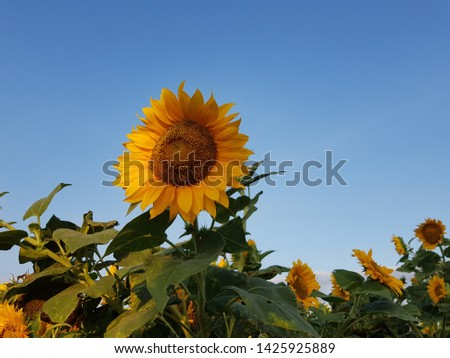 Sunflower field, sunflower seeds, sunflower field view #1425925889