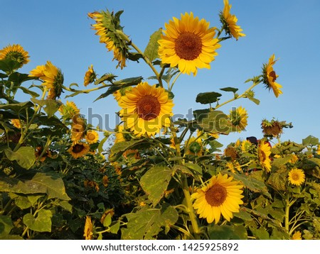 Sunflower field, sunflower seeds, sunflower field view #1425925892