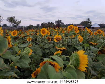 Sunflower field, sunflower seeds, sunflower field view #1425925895