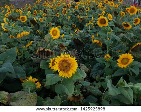 Sunflower field, sunflower seeds, sunflower field view #1425925898