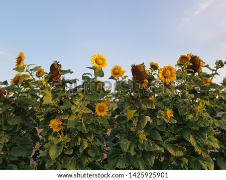 Sunflower field, sunflower seeds, sunflower field view #1425925901