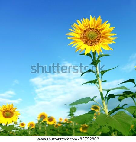 Sunflower field under blue sky.