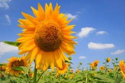 sunflower field with big sunflower