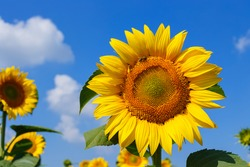 Sunflower field with blue sky and clouds. Bee on flower