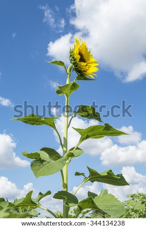 sunflower field with cloudy blue sky #344134238