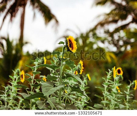 Sunflower field with depth of field