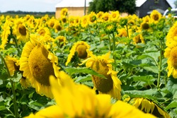 sunflower field with many other sunflowers.