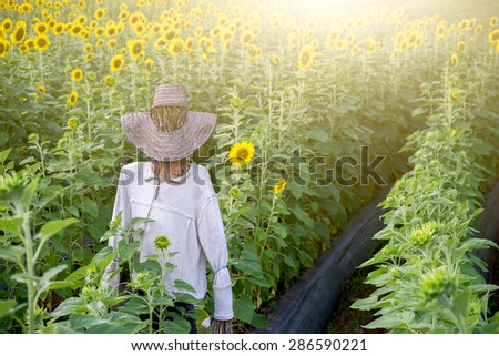 Sunflower field with scarecrow with color flare filtered.