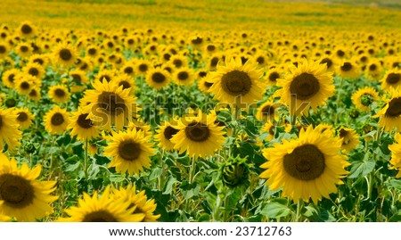 Sunflower field with several flowers closeup
