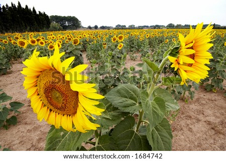 Sunflower field with two watchig opposite directions