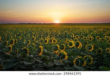 Sunflower fields in warm evening light. Digital composite of a sunrise over a field of golden yellow sunflowers.