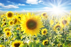 Sunflower fields with blue sky